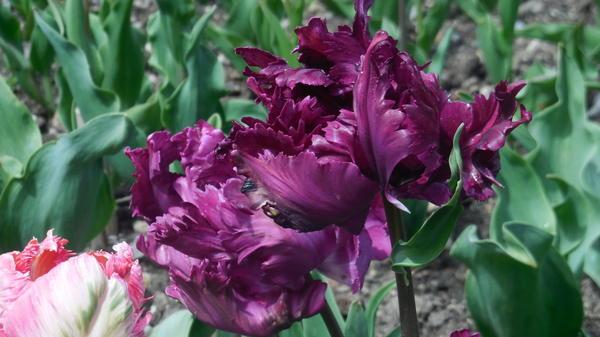 20 самых необычных тюльпанов Парада Никитского ботанического сада 2015