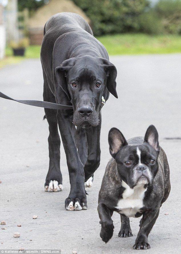 У Джули и ее семьи есть еще четыре собаки - бордоский дог, две китайские хохлатые и французский бульдог adopted, немецкий дог, питомец, рекорды, самый большой, самый крупный, собака, собака - друг человека