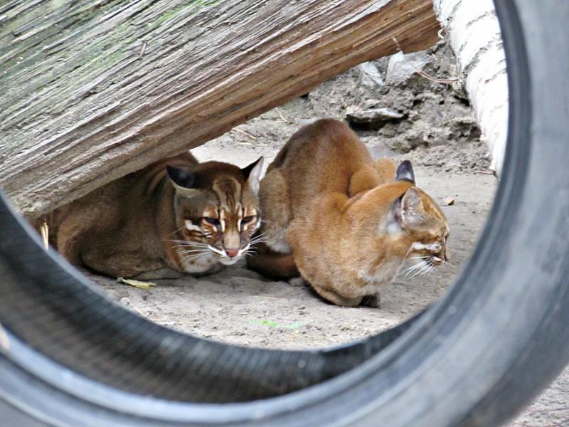 В новосибирский зоопарк привезли редких кошек темминка