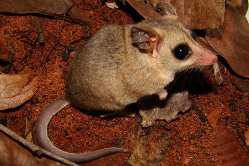 Мексиканский мышиный опоссум Оппосум, крысовидные