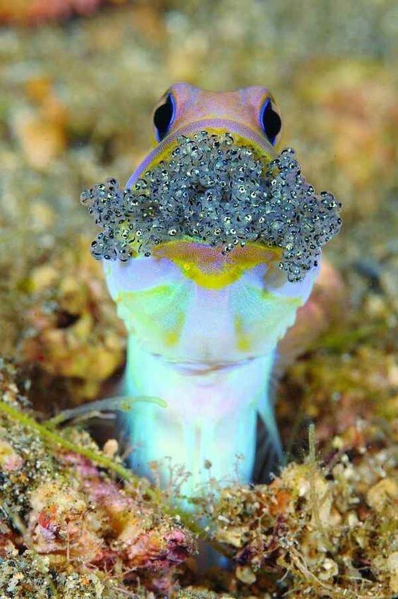 Самцы рыбы Jawfish, превращают свой рот в гнездо, где носит икру, отложенную его партнером животные, занимательно, интересно, необычно, природа, ракурс, факты