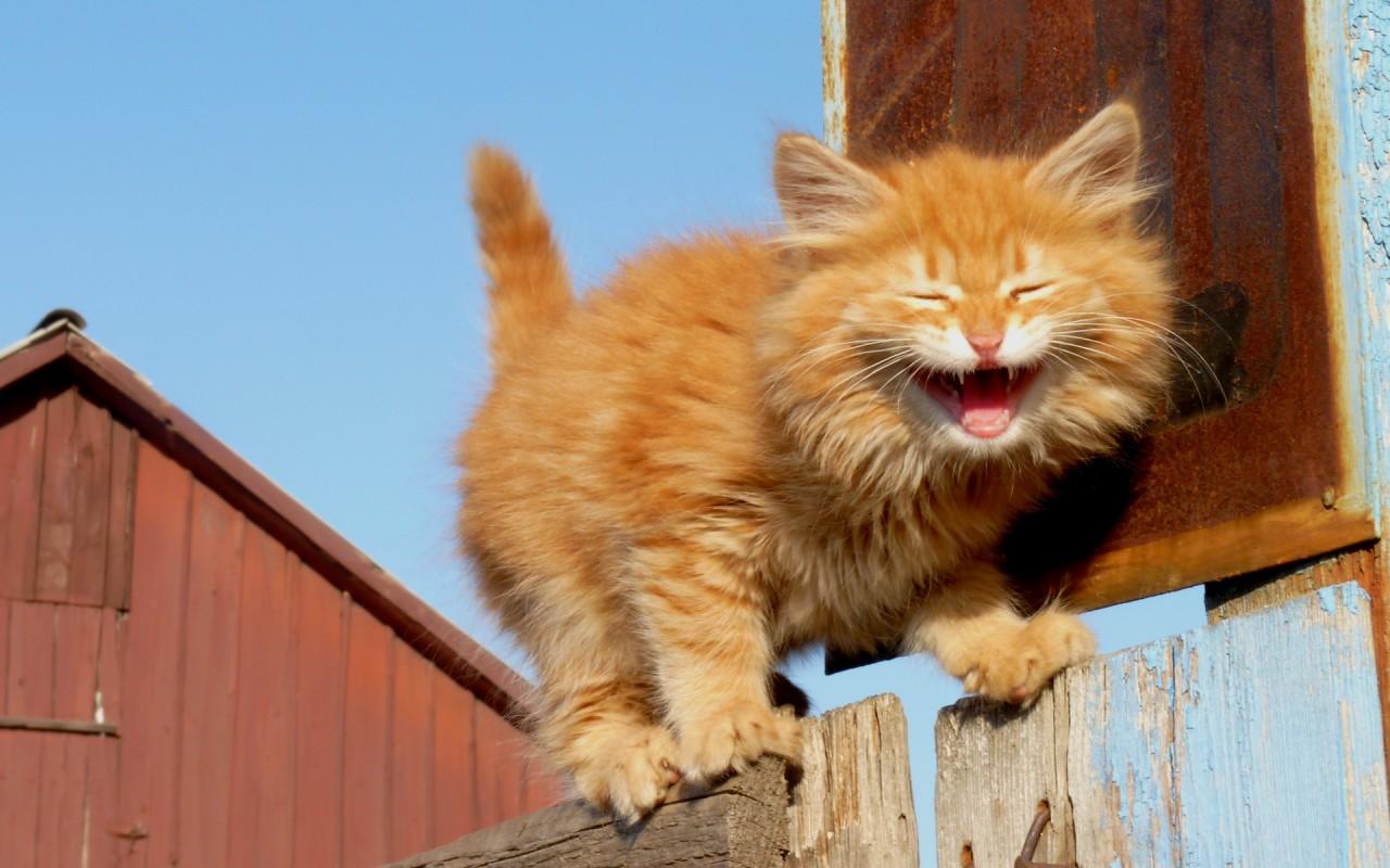Картинки прикольные рыжих котов, картинки выборам