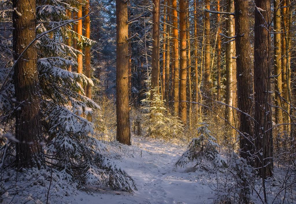 Картинка дремучий лес зимний