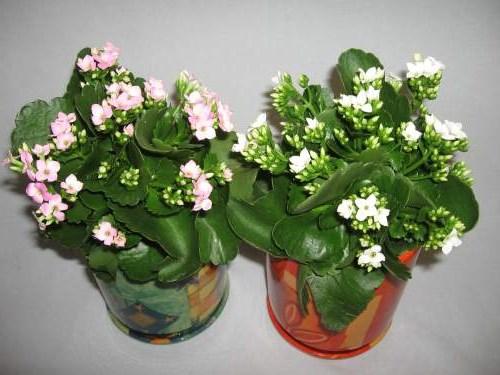 комнатных цветущих цветов название и фото