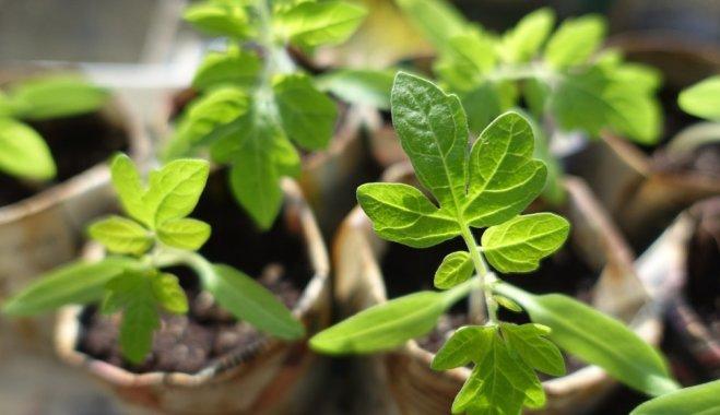 Что посадить в январе на рассаду?