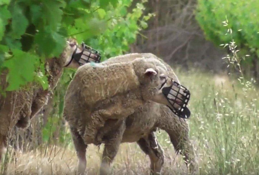 Овцам одели намордники в стиле «Молчания ягнят»