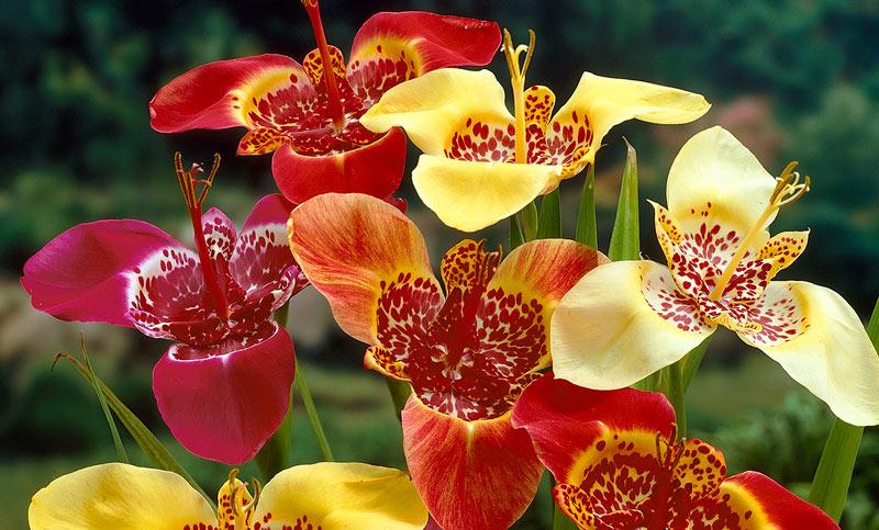 Тигридия: выращивание и уход Декоративные цветы и кустарники