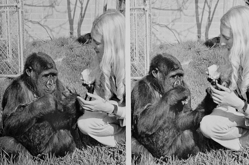 Умерла горилла, которая умела разговаривать