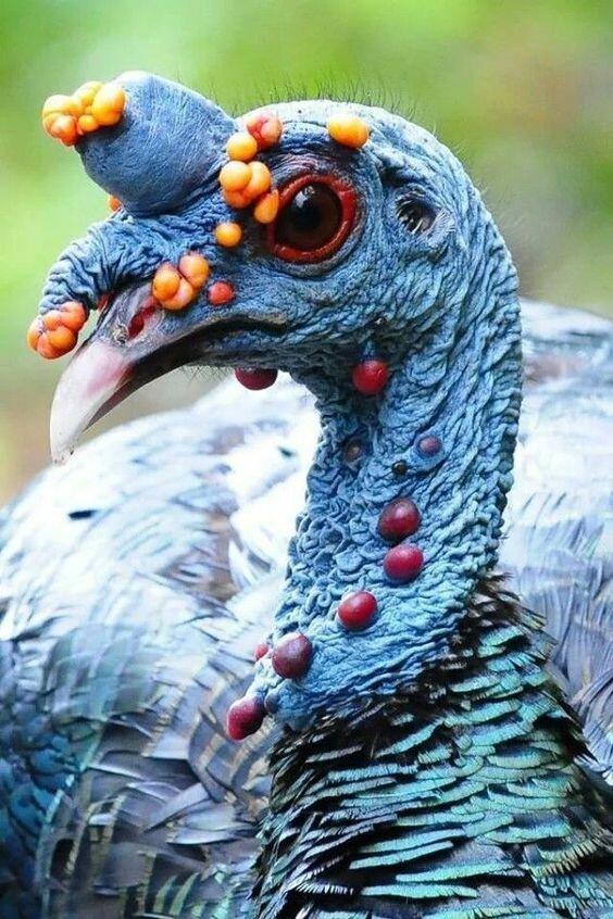 Голова глазчатой или павлиновой индейки животные, занимательно, интересно, необычно, природа, ракурс, факты