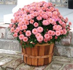 Как выращивать хризантемы из семян, правильная посадка и уход
