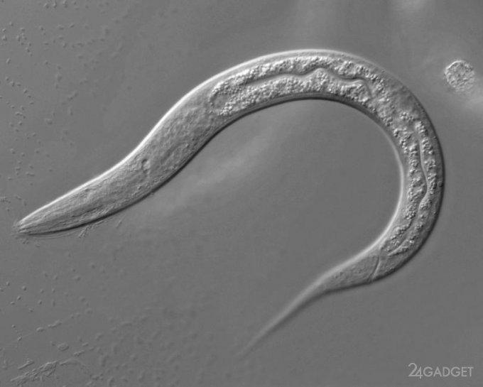 Ученые из США перепрограммировали «мозг» червя с помощью нейронов гидры