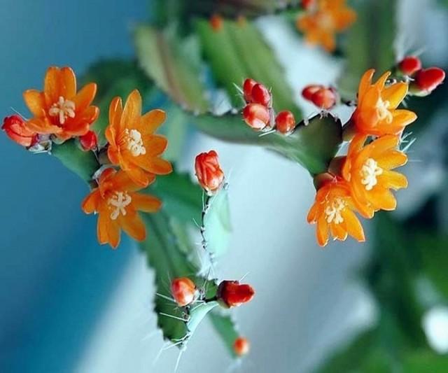 Аканторипсалис — крупный и послушный лесной кактус