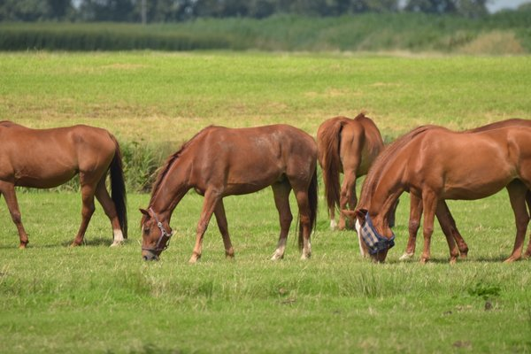 https://c.pxhere.com/photos/4a/27/horses_pasture_graze_coupling_nature_light_brown_animal_meadow-571089.jpg!d