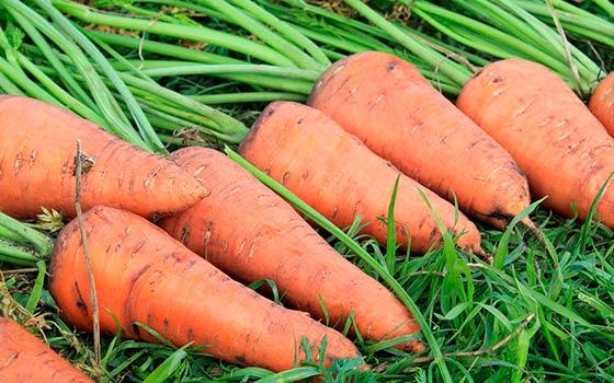 правильный посев моркови