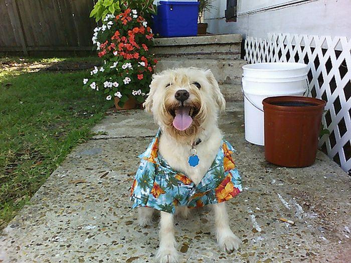 Смешные собаки в гавайских р…