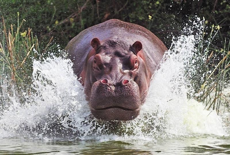 Гиппопотамы самые опасные животные Африки. интересное, факты