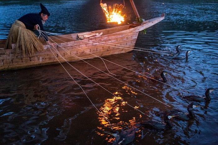 Бакланы-рыболовы: древнее японское ремесло