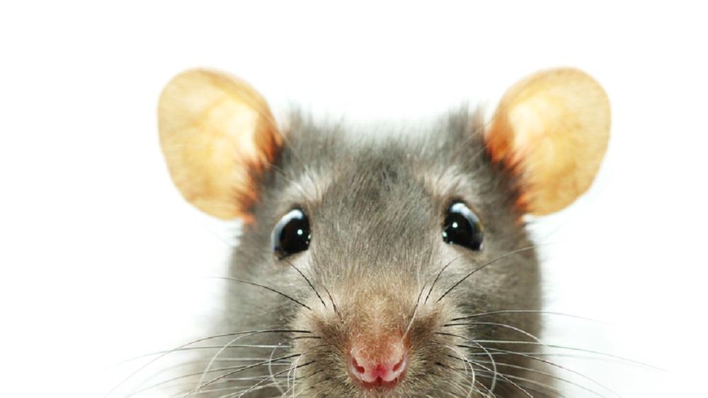Прикольные картинки про мышат