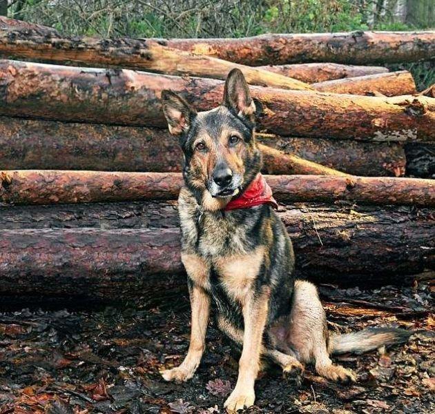 Бесстрашный полицейский пес
