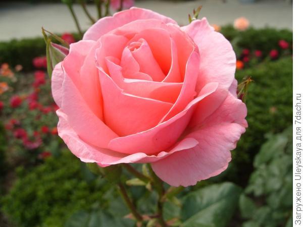 Роза грандифлора сорт Quenn Elizabeth