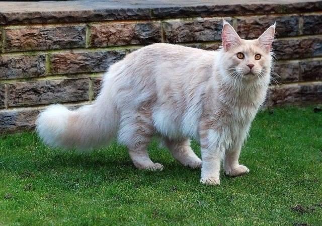 Кошки с невероятно пушистыми хвостами. Павлин бы позавидовал!