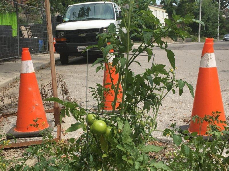 Канадцы вырастили помидоры в яме на дороге, чтобы привлечь внимание властей (6 фото + 1 видео)