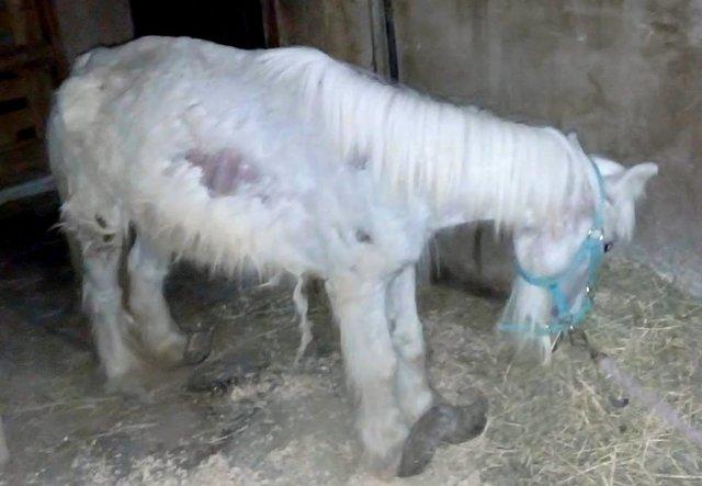 Пони с копытами, похожими на «восточные туфли», не мог стоять… Он стал жертвой моды