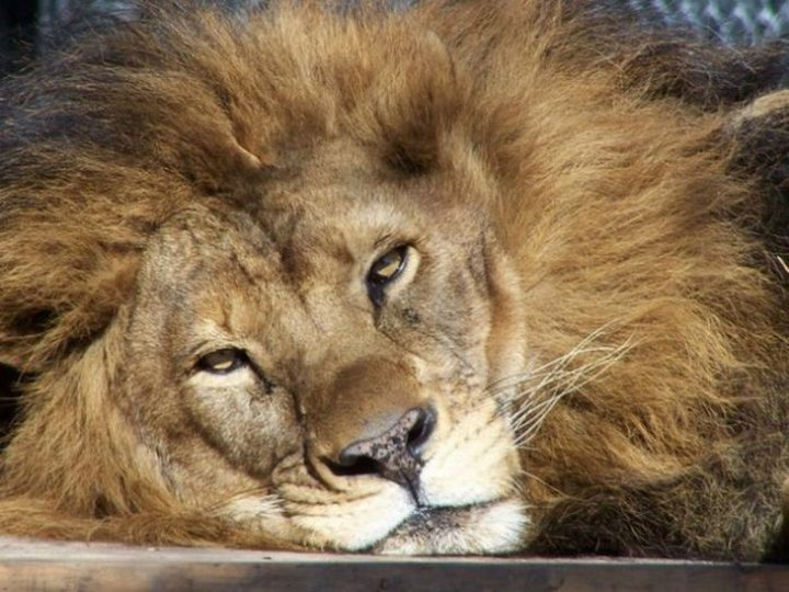 Любовь спасла льва