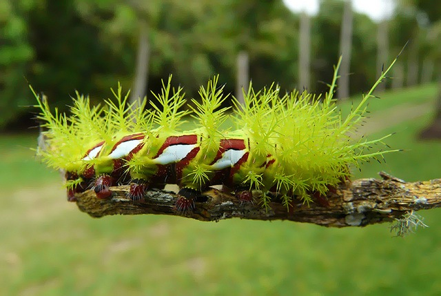 Лономия - самая опасная гусеница в мире