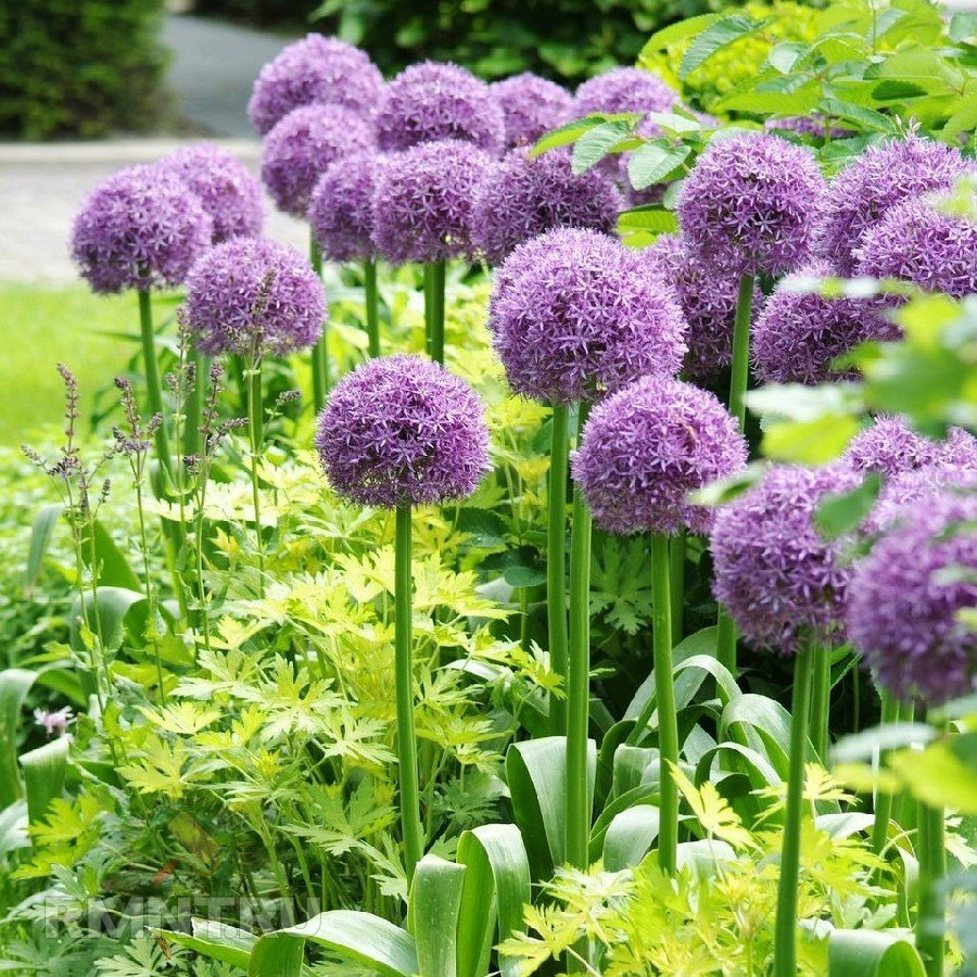 Аллиум Гладиатор (Allium Gladiator)