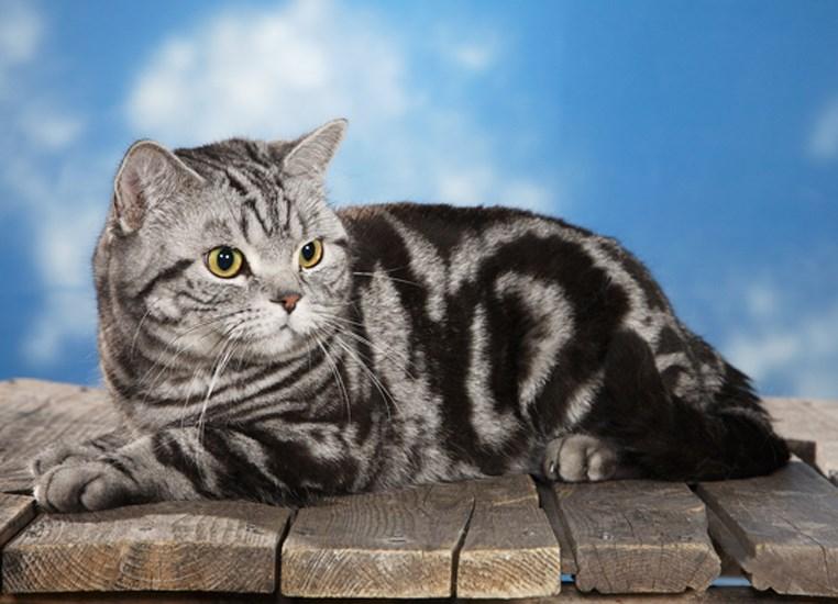 окрасы британских коты окрас картинки