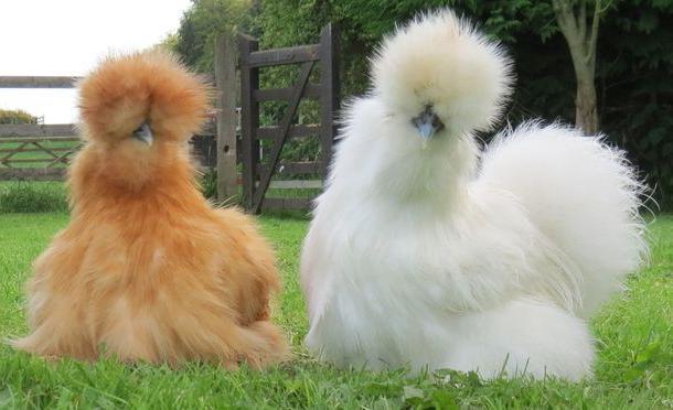 Отличие белых и коричневых куриных яиц