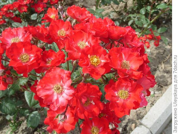 Полиантовая роза сорт Orange Triumph