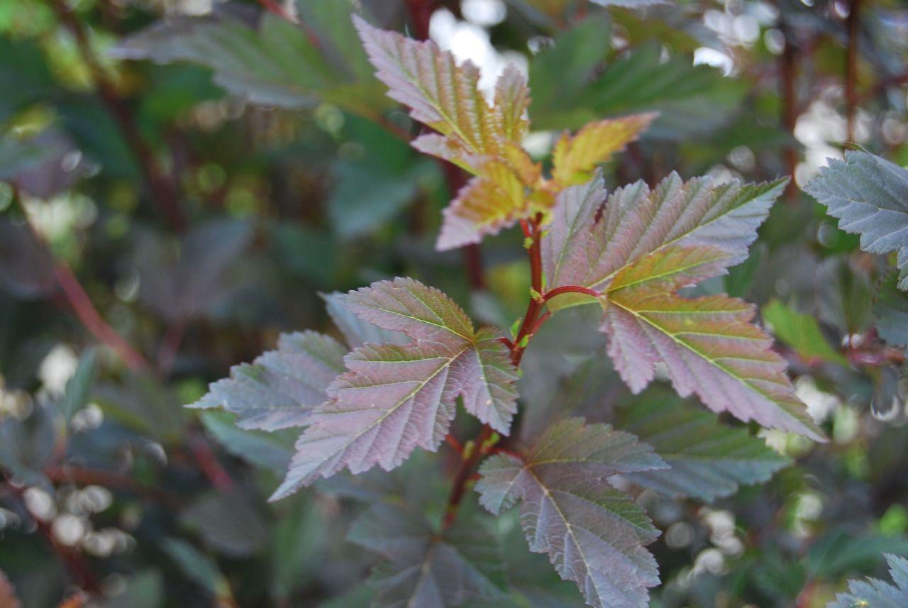 Зеленые листья пузыреплодника Диаболо