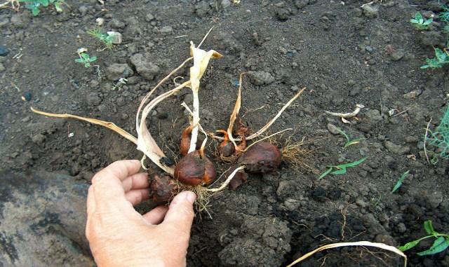 Зачем выкапывают тюльпаны и …