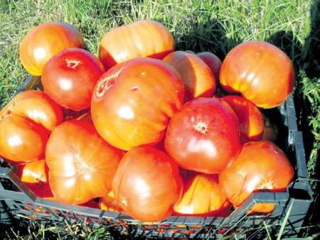Николай Хорошев: Любимые сорта томатов я искал годами