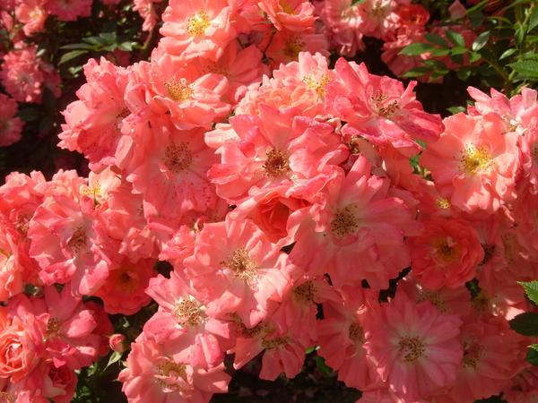 Разноцветные ковры – почвопокровные розы