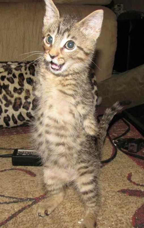 Котенок без передних лап без, котенок, лап, передних