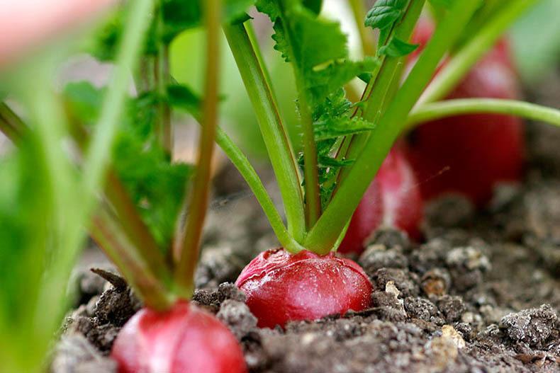 Редис на подоконнике: выращивание зимой и летом в домашних условиях
