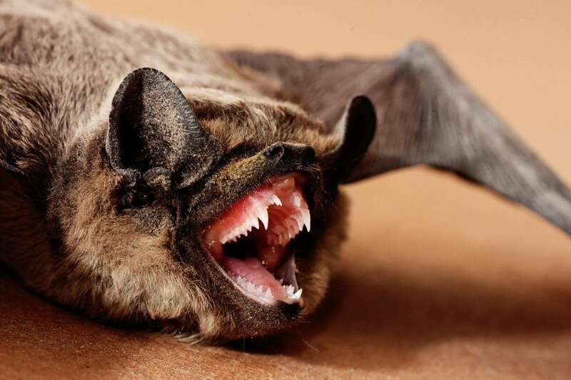 Зубы летучей мыши животные, занимательно, интересно, необычно, природа, ракурс, факты