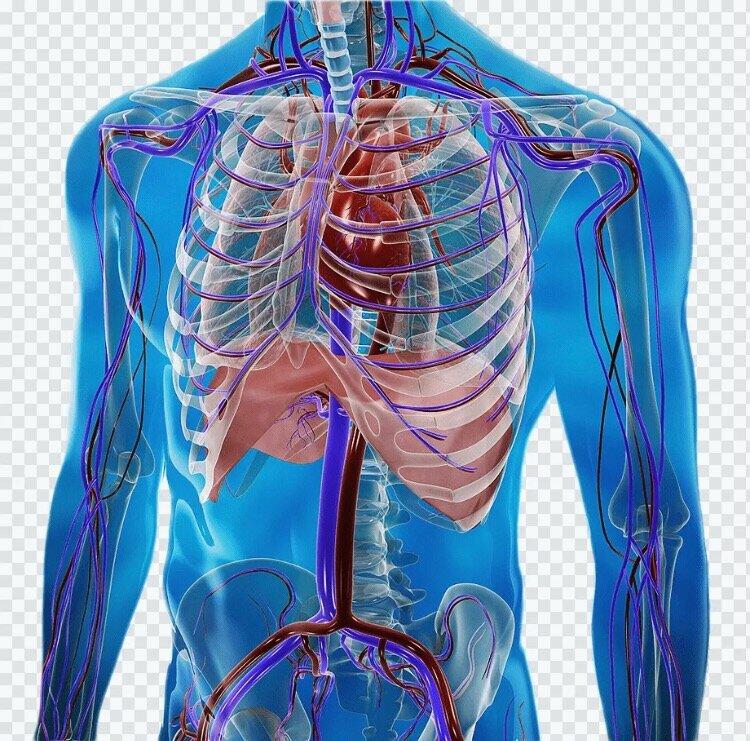 """""""Тайная мудрость человеческого организма"""" и как восстановить """"второе сердце"""" А.Залманов дыхание,здоровье,лечение,медицина,оздоровление организма"""