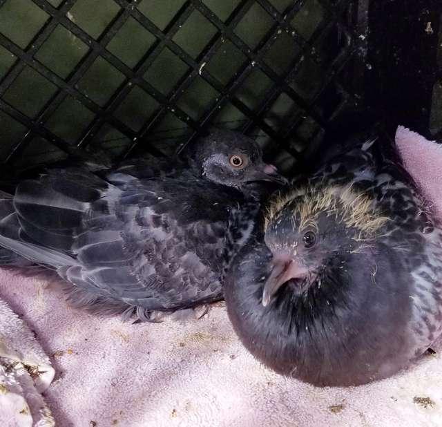два голубя сидят рядом