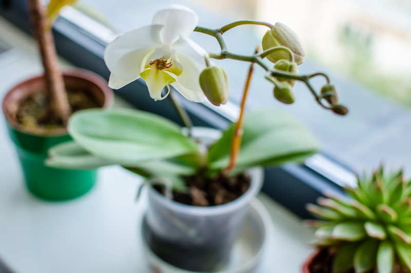 Оранжерея орхидей: сильный витаминный комплекс для фаленопсисов