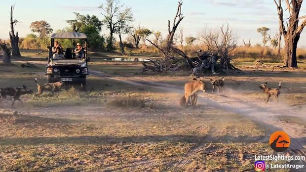 Картинки по запросу Lioness Takes a Beating by Wild Dogs to Save Her Cub