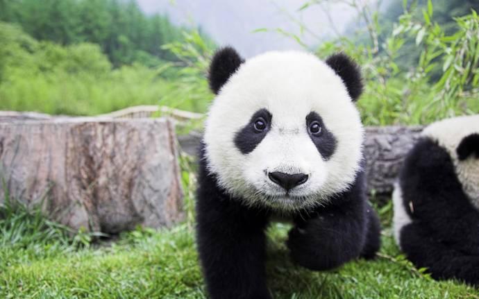Большие панды - Завоеватели людских сердец