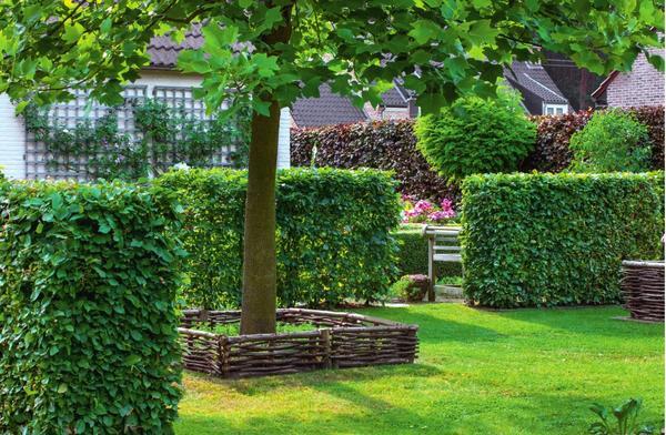 Живая изгородь сформирована из граба.