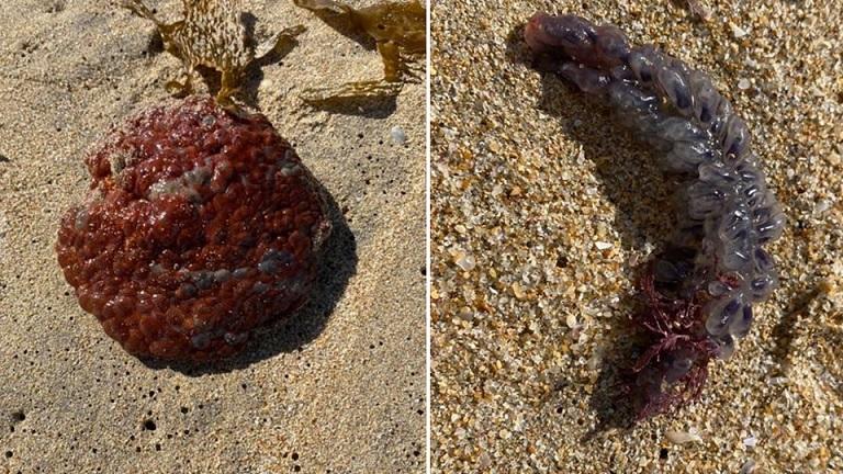 Необычные существа обнаружены на австралийском пляже