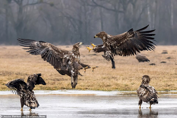Зрелищная битва орлов