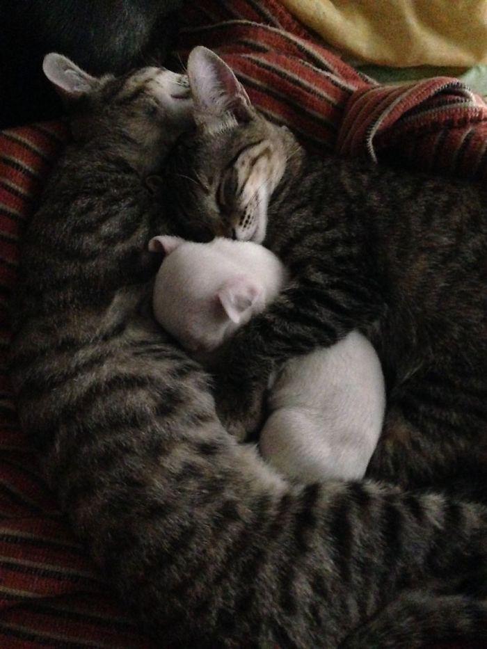 Тогда кошки взяли дело заботы об этом маленьком комочке шерсти в свои лапы кошки, питбуль, щенок