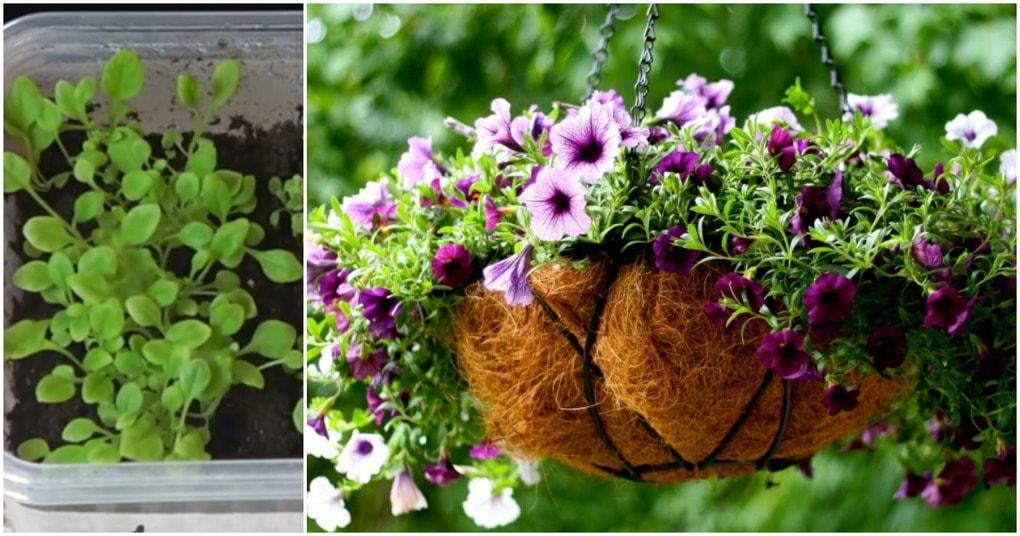 Уникальный способ посева петунии: быстрые всходы плюс закаливание